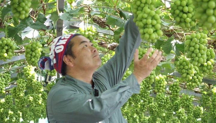 岡山の特産品「白桃」や「マスカット」のことを勉強したいと思い、支援者の方の農場を訪問し、収穫のお手伝いをしました